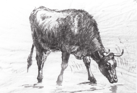 cow-drinking-sketch.jpg