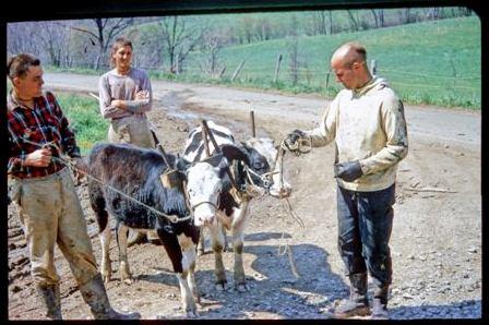devaki-yudisthira-daivata-oxen.jpg