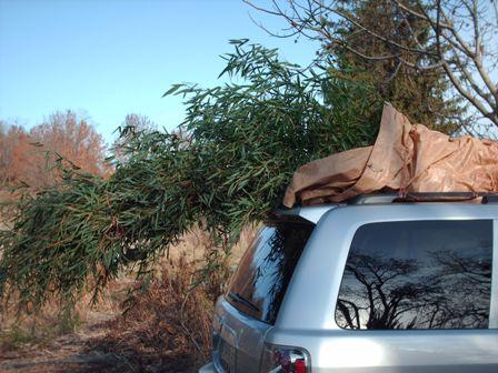bamboo-on-car1