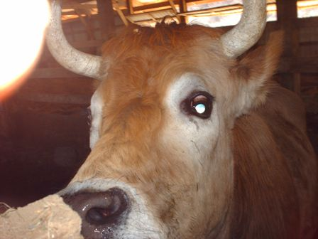 mr-handsome-moo-cow-up-close