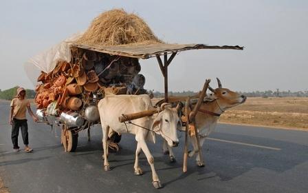 oxen with umbrella