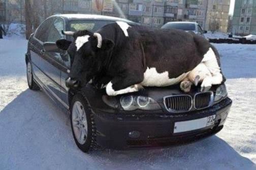 cow on car