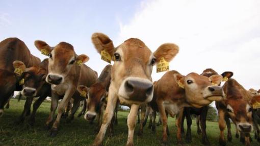 flatulent cows